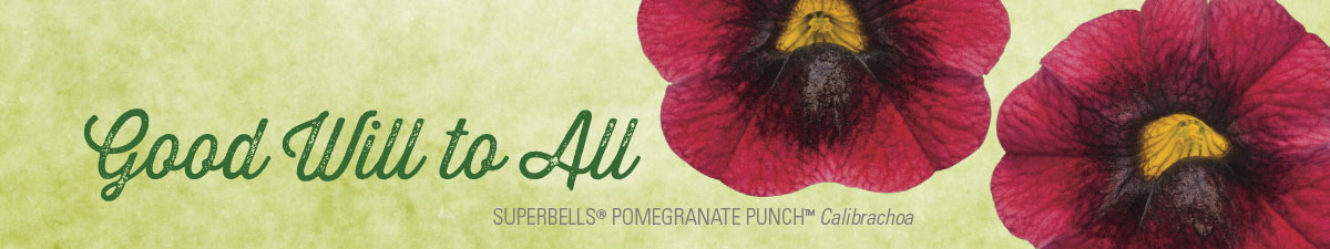 SUPERBELLS® POMEGRANATE PUNCH™ Calibrachoa